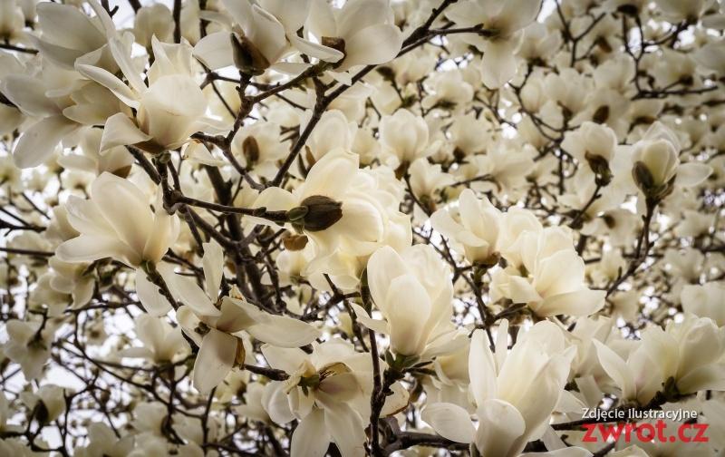 Procházka k magnoliím