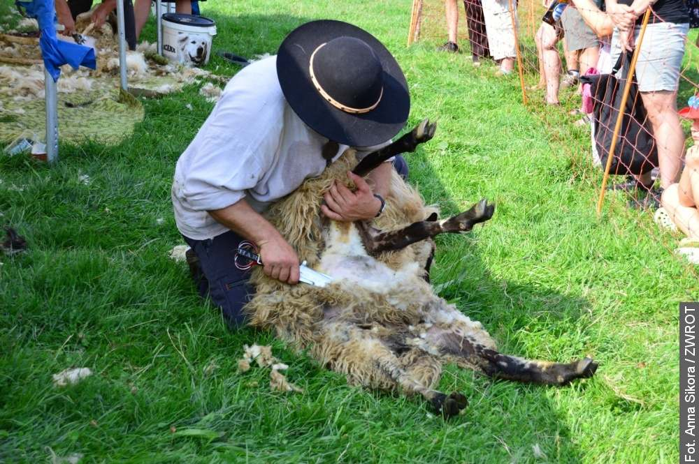 V Nýdku mají ovce nové účesy