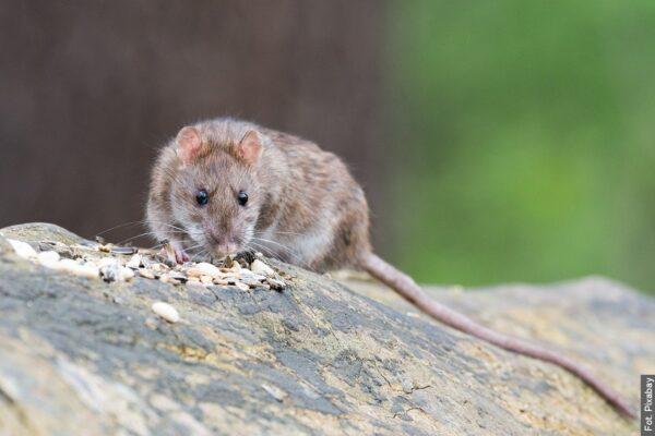 Havířovchystá celoplošnou deratizaci potkanů