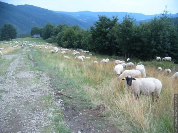 Blíží se tradiční akce Vyvádění ovcí ve Wisle