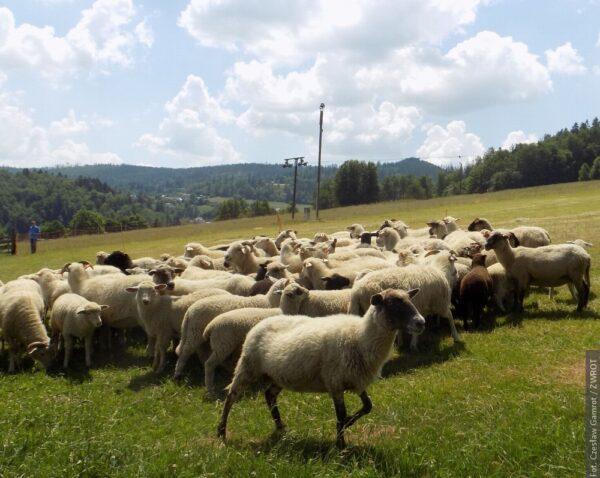 Ve Wisle vyvedli ovce na pastvu